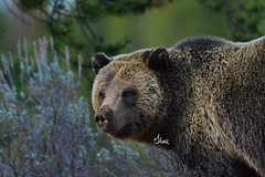 Beautiful Grizzly Sow - 7250b+ (teagden) Tags: beautiful grizzly sow grizz grizzlybear grizzlybears jenniferhall jenhall jenhallphotography jenhallwildlifephotography wildlifephotography wildlife photography wild nikon nature naturephotography bear closeup wyoming portrait