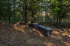 Beehives (Eduardo Estllez) Tags: apicultura miel abejas colmenas hervas castaar castao bosque arboles paisaje maleza hojas natural naturaleza medioambiente parquenatural silvestre lugaresdeinteres destinosturisticos caceres extremadura espaa estellez eduardoestellez