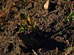 New Life on Decomposing Trunk (Fire Engine Red) Tags: garden autumn newlifeondecomposingtrunk soil green brown treetrunk plumtree
