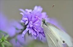 "40aaaol-koolwitje-4-10-16-tuinH-z'w'weg-leiden-(n.D700-tk.100m) (""HansFfloraFauna"") Tags: white large close up nikon d700 eyes"