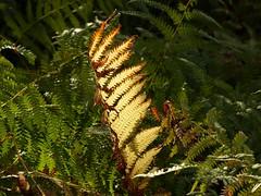 Golden fern (libra1054) Tags: farn fern helecho fougre feto samambaia flora golden dor doro dore de ouro outdoor