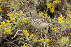 Berthelot's Pipit - Anthus berthelotii (Roger Wasley) Tags: berthelotspipit anthusberthelotii fuencaliente saltpans endemic bird lapalma canaryislands spain spanish europe european