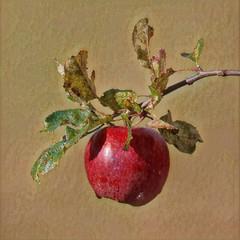 Apple (ashperkins) Tags: sliderssunday hss prisma prismaapp