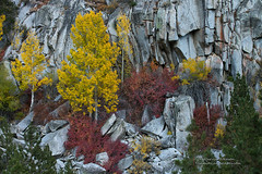 Autumn's Palette (Darvin Atkeson) Tags: autumn fall color eastern sierra nevada mountains desert aspen gold golden california grove stand trees trunk bark white mono county darv darvin lynneal atkeson yosemitelandscapescom
