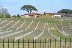 vineyard (Hayashina) Tags: bordeaux medoc france fence vine hff
