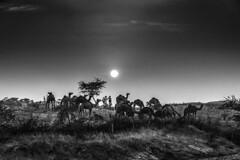 (ayashok photography) Tags: rangderajasthan nikon ayashok ayashokphotography nikond300 nikond700 nikkor24120mmvr rajasthan pushkar camelfair camels market india rajastan rajasthani ayp0061