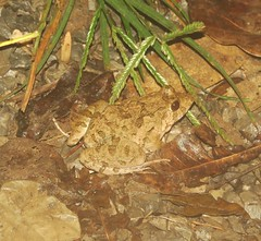 Frog sp. (tom_2014) Tags: frog amphibian amphib ranaidae rana species id unidentified biodiversity ecology nature wild wildlife herpetofauna herpetology inle inlelake burma myanmar shan shanstate asia asian asianherpetofauna southeastasia
