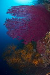 DSC_2259 (Mgungen) Tags: underwater underwaterphotography colourful nikon d7100 subal tokina 1017 inon z240 indonesia rajaampat diving scuba wideangle sea ocean coral reef misoolecoresort