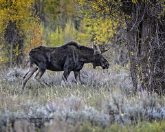 Young Bull Moose, Jackson Hole Wyoming, Grand Tetons National Park (Hawg Wild Photography) Tags: bull moose wildlife animal animals nature grand teton tetons national park jacksonholewyoming terrygreen nikon nikon200400vr nikond4s hawg wild photography