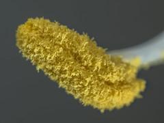 Staubgef der Amaryllis (turbok) Tags: amaryllis pflanze pflanzenteile staubgefs zierpflanzen