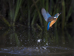 Gone Fishing 2 (Chris Bainbridge1) Tags: alcedoatthis common kingfisher emerging from water fishing in flight norfolk