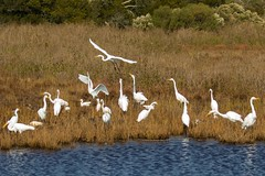 7K8A3869 (rpealit) Tags: scenery wildlife nature chincoteaque national refuge great egrets egret bird