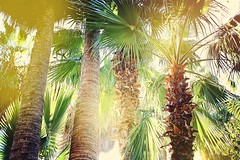 Palm trees in the sunlight (MarBen photo) Tags: palm tree nature sun sunshine sunlight airy relax meditation many forest line stem tribe green ecology interesting ecco flora wild deep yoga stillness calm healing weather summer spring hot warmth climatic up perspective