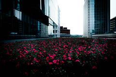 Rooftop garden (shinichi ogawa) Tags: 東京 花