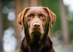 Ziggy (Greig Reid) Tags: dof bokeh chocolate color face cute picture image lens wise greigreidphotography eyes chocolatelabrador depthoffield labrador naturallight colour photograph ziggy outside pet photo availablelight dog outdoors handsome family portrait lightroom lab