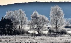 Gleaming trees (:Linda:) Tags: germany thuringia village hoarfrost brnn tree mist explored birchtree