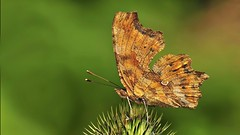 Polygonia c-album (KOMSIS) Tags: kelebek butterfly butterflies schmetterlinge farfalla papillon  mariposas conbm polyommatus nymphalidae polygonia insecta insect insects arthropoda antenne tatty borboleta animal field serene landscape green texture pattern patterns macro nature wildlife outdoor visipix vivid ngc buzznbugz minimalism nikon nikondigital nikond300 nikkor 105mm tc14e catchy catchycolors colors colorful beautiful bright brilliant brown calbum plant wow lighting farfalle sommerfugler firildi bbochka fjrilar dagfjrilar perhonen pivperhonen