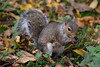 Grey Squirrel (Bri_J) Tags: tropicalbutterflyhouse northanston sheffield southyorkshire uk butterflyhouse yorkshire nikon d7200 greysquirrel squirrel sciuruscarolinensis