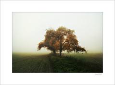 silence (Zino2009 (bob van den berg)) Tags: fog nebel mist tree appletree old color autumn standing field grass holland silence quiet ruhig zino2009 bobvandenberg nik reprocesssed herfst