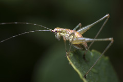 Springerly (Eric Gitonga) Tags: 40x60 ericgitonga kenya nature macro arthropods phylum kingdom arthropoda animal animalia segment segmented head abdomen legs mouth eyes compoundeye simpleeye instar exuvia moult exoskeleton grow develop misunderstood stinger sting egg fertilization sperm female male insect insecta thorax 6legs sixlegs wings flight crawl antenna mpalaresearchcentre mrc laikipia