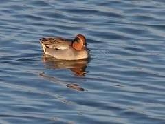 Teal (m) (robin denton) Tags: teal ducks duck bird wildlife yorkshirewildlifetrust wildlifetrust nature birds waterbird northcavewetlands anascrecca yorkshire