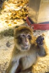 The curious female of the new macaque group (Korkeasaaren elintarha) Tags: korkeasaarenelintarha elintarha korkeasaari hgholmensdjurgrd djurgrd helsinkizoo hgholmen zoo animals zooanimals berberiapina barbarymacaque macacasylvanus