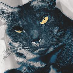 338 | 366 | V (Randomographer) Tags: project366 cat project 366 feline gato kitty cute felis catus kat   koka kissa katze    macska kttur kucing   katt  con mo fuzzy nose whiskers fur furry face animal pet friend companion 338 v