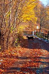 Frakkal hazafelé / homeward (debreczeniemoke) Tags: ősz autumn erdő forest frakk kutya dog erdélyikopó transylvanianhound olympusem5
