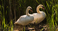 Swans. (Alex-de-Haas) Tags: tgeestmerambacht animals dieren geestmerambacht nederland noordholland thenetherlands animal bird birds dier feathers naturereserve natuurgebied recreatie recreatiegebied recreation recreationpark summer swan swans veren vogel vogels wildlife zomer zwaan zwanen