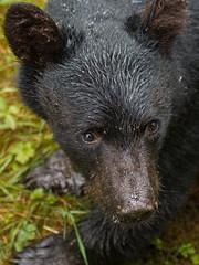 Alaska '12_2359 (Jimmy Vangenechten 76) Tags: geo:lat=5617900368 geo:lon=13188412029 geotagged blackbear ursusamericanus amerikaansezwartebeer wildlife alaska anancreek animal dier