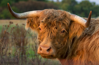 Bos taurus / Cattle / Корова / Tamkvæg
