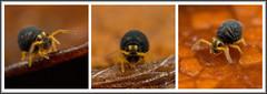 Sminthurinus aureus - Dark forms (Ed Phillips 01) Tags: sminthurinus aureus dark from collembola springtail macro mpe staffordshire explored