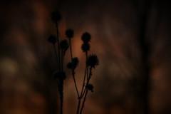 Colours of Winter (Steve.T.) Tags: winter teasels wildflowers whetmeadnaturereserve essex witham bokeh lowlight wildlife softlight nikon d7200 sigma18200 wintercolours mothernature softfocus