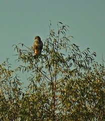 Urban Raptor (Bricheno) Tags: glasgow rutherglen dalmarnock bird raptor birdofprey buzzard bricheno scotland escocia schottland cosse scozia esccia szkocja scoia