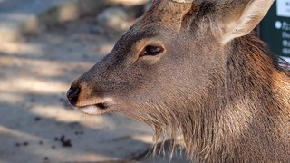 A male Shika deer in the park