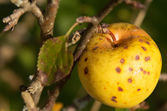 Altersflecken - hlich (Renate Bomm) Tags: apple apfel obst fruit nahrung ernhrung renatebomm 366 2016 canoneos6d ef24105mmf4l kleingartenanlage schrebergarten altersflecken sommersprossen stippe flecken freckles pecas cgn goldengallary flickrunitedaward abfall wast basura feo