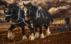 Pulling their weight. (bainebiker) Tags: horseploughing shirehorses farming agriculture sky farmland plougman tonemapping baston lincolnshire uk