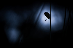 Night Call. (SweeP_64) Tags: night call argus photo nature papillon butterfly cyrille masseys 6ril proxi macro