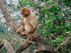 Barbary_Macaque_in_a_Tree,_Gibraltar_2_cropped and coloured (Abbey_L) Tags: animal barbarymacaque gibraltar macaque mammal monkey tjpio
