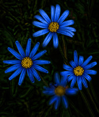 Blue Daisies (FotoGrazio) Tags: naturecomposition neon composition flowers nature fotograzio photographicart digitalphotography photoeffect worldphotographer phototopainting plant mothernature macro waynegrazio photography artofphotography petals springtime yellow photomanipulation phototoart fineart blue yellowandblue flickr photographicartist art pistil floral flower lovely blossom daisy botanical botany californiaphotographer texture garden abstract natureart colorful closeup beautiful painterly natureupclose sandiegophotographer 500px blooming internationalphotographer planetearth waynesgrazio surreal