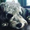 Luv my pups (marsha woodrum) Tags: yorkiepoo marshawoodrum marshaleephotography pets dogs yorkie poodle