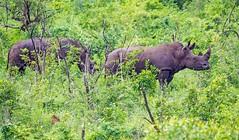 a mighty couple (werner boehm *) Tags: wernerboehm nashorn afrika pirsch hluhluwe–imfolozipark rhino südafrika