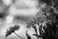 ILCE-6000-20161129-06591 // Carl Zeiss Jena Tessar 50mm 1:2.8 (Otattemita) Tags: 50mmf28 carlzeissjena carlzeissjenatessar50mmf28 florafauna flower nature plant wildlife carlzeissjenatessar50mm128 sonyilce6000 ilce6000 sony 50mm