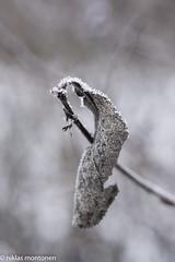 Frost (aixcracker) Tags: winter vinter talvi frost huurre ice is j porvoo borg suomi finland december joulukuu nikond800