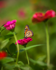Amongst the Flowers.. (zoomclic) Tags: canon closeup colorful 7d ef200mmf28lusm flower foliage summer dof dreamy butterfly monarch nature outdoors green garden red orange bokeh plant zinnia zoomclicphotography