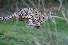 Unlocks the Power !!! (carlo612001) Tags: cheetah wildlife wild run runner predator predators cat cats speed fastest
