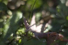 Fallen Maple leaf (Zunten) Tags: brown green leaves zeiss leaf carl mapleleaf umber  ricoh cy fallenleaves  gxr     closeupring planar1485