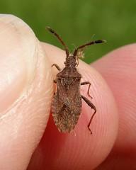 Coriomeris denticulatus - Rye Harbour NR, Sussex 2012 (Steven Falk) Tags: steven falk leatherbug coriomeris denticulatus denticulate