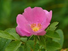 Woods' Rose - Rosa woodsii (midimatt) Tags: flower rose wisconsin pinkflower wildrose wi newburg saukville ozaukee woodsrose mountainrose riveredgenaturecenter commonwildrose rosawoodsii mattdrollinger matthewdrollinger