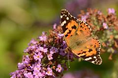 Aglais urticae (Rene Mensen) Tags: macro butterfly nikon small rene tortoiseshell micro vos mensen kleine aglais urticae d5100